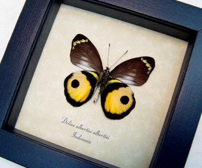 Delias albertisi albertisi verso Real Orange Yellow Inkspot Framed Butterfly