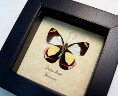 Delias dixeyi verso Real red Yellow Framed Butterfly