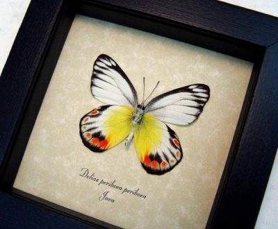 Delias periboea periboea verso Real Orange Yellow Framed Butterfly
