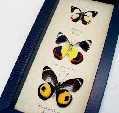 Delias Set of 3 Delias albertisi dixeyi timorensis Real Orange Yellow red Inkspot Framed Butterfllies