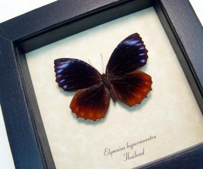 Elymnias hypermnestra Fire & Ice Palmfly Real Framed Purple Orange Butterfly