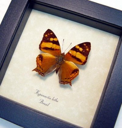 Hypanartia lethe Orange Dagger tail Mapwing Real Framed Peru Butterfly