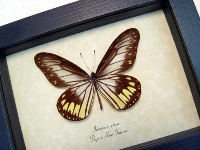 Ideopsis vitrea Rare Blanchards Wood Nymph Transparent wings Real Framed Butterfly