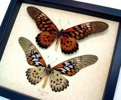 Papilio antimachus Set World's Widest Wingspan African Butterflies