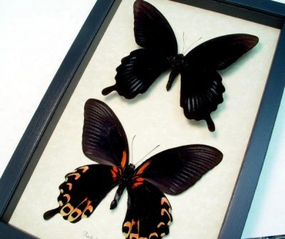 Papilio deiphobus Set Giant Tequilla Sunrise Black Witch