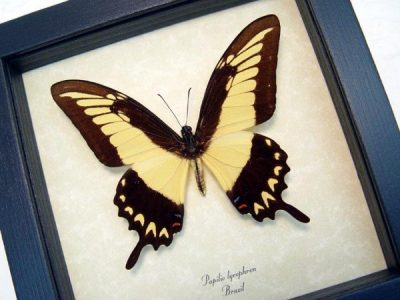 Papilio lycrophon Male Astyalus Swallowtail Yellow Real Framed Butterfly