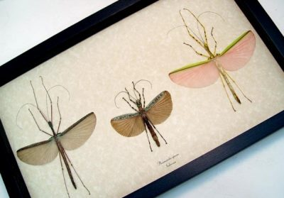 Phasmatidae Species Set 3 Real Framed Pink Green Camouflage Walking Stick Insects