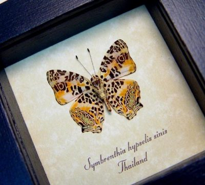 Symbrenthia hypselis sinis Himilayan Jester Real Framed Butterfly