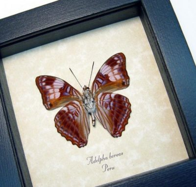 Adelpha boreas Gaudy Sister Solitary Sister Real Framed Peru Butterfly
