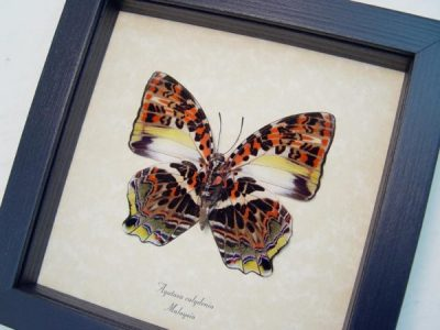 Agatasa calydonia Rare The Glorious Begum Real Framed Butterfly