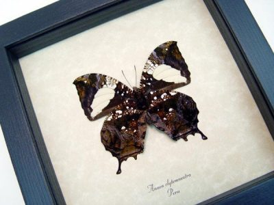 Anaea clytemnestra verso Real Framed Large Tailed Leaf Mimic Butterfly