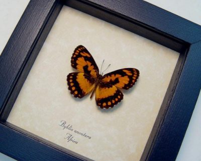 Byblia anvatara Common Joker Rare Orange Real Framed Butterfly