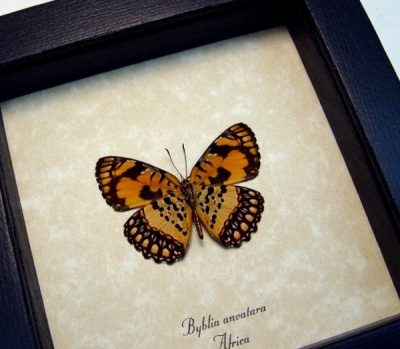 Byblia anvatara verso Common Joker Rare Orange Real Framed Butterfly