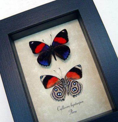 Callicore hystaspes Set Blue Red Butterflies