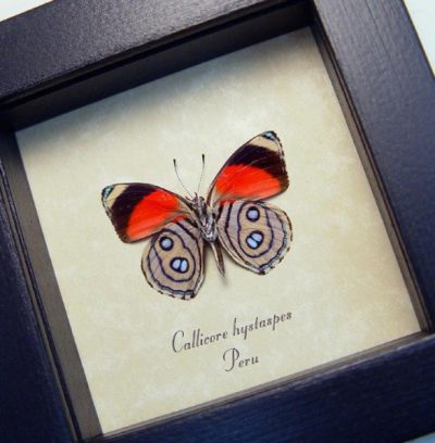 Callicore hystaspes verso Red Butterfly