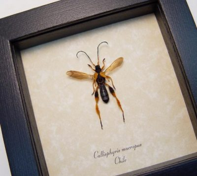 Callisphyris macropus Wasp Mimic Real Framed Longhorn Beetle