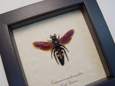Campsomeris quadrimaculata Female Real Framed Scoliid Wasp scarab hunter scarab hawk