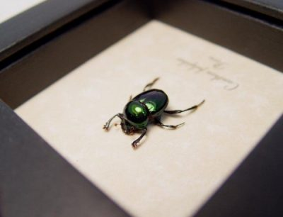 Canthon fulgidus Male Metallic Green Real Framed Rare Scarab Beetle