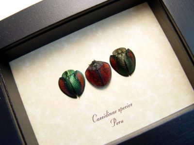 Cassidinae Collection Set of 3 Rare Red Green Tortoiseshell Beetles Real Framed Insect