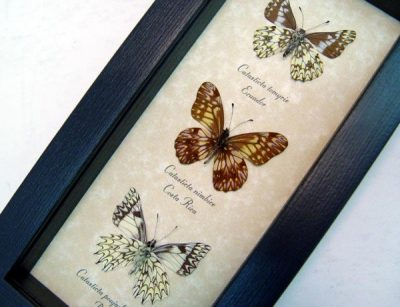 Catastica Set Of 3 Rare Dartwhite Butterflies Pinstripes Scalloped Frills Real Framed Butterfly