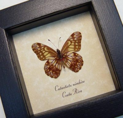 Catasticta nimbice Verso Dartwhite Butterfly Scalloped Frills Real Framed Butterfly
