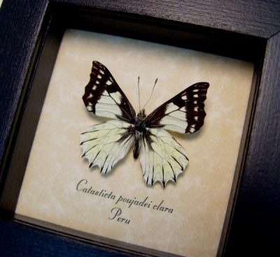 Catasticta poujadei clara Dartwhite Butterfly Pinstripes Scalloped Frills Real Framed Butterfly