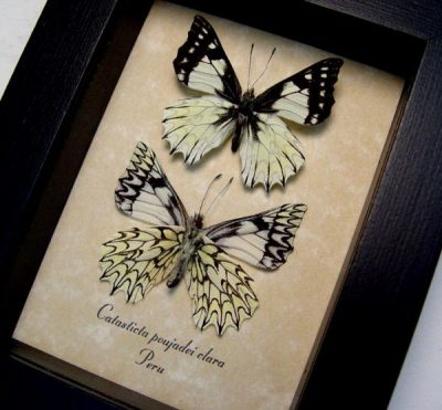 Catasticta poujadei clara Pair Dartwhite Butterfly Pinstripes Scalloped Frills Real Framed Butterfly