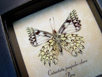 Catasticta poujadei clara Verso Dartwhite Butterfly Pinstripes Scalloped Frills Real Framed Butterfly