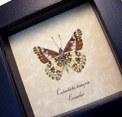Catasticta tomyris Verso Dartwhite Butterfly Scalloped Frills Real Framed Butterfly