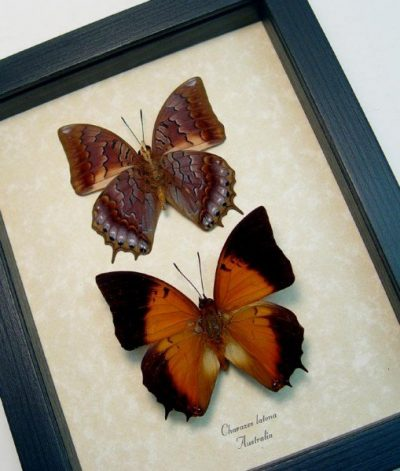 Charaxes latona set Orange Emperor Butterflies