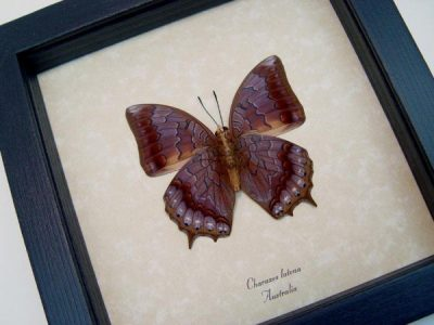 Charaxes latona Verso Orange Emperor Real Framed Butterfly