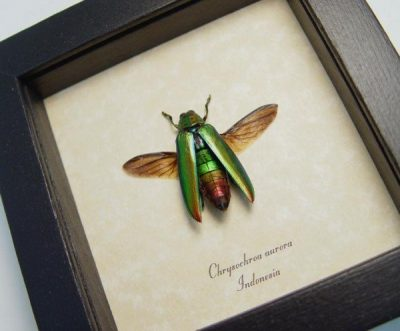Chrysochroa aurora Gold Flying Rainbow Metallic Beetle
