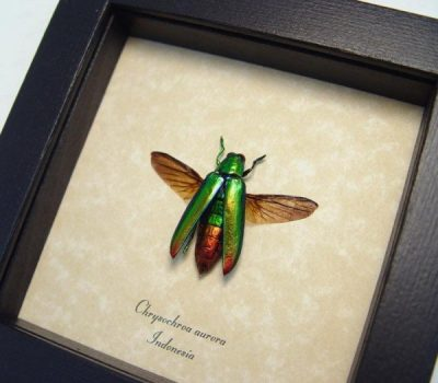 Chrysochroa aurora Green Flying Rainbow Metallic Beetle