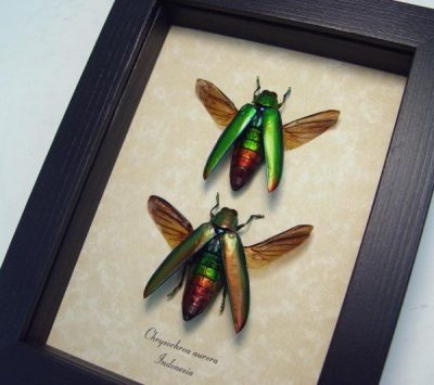 Chrysochroa aurora Set Gold Green Flying  Rainbow Metallic Beetle