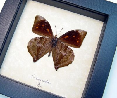 Corades medeba Verso Rare Swallowtail Leaf Mimic Real Framed  Butterfly