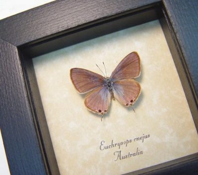 Euchrysops cnejus Male Blue Gram Rare Blue Real Framed Butterfly