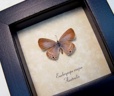 Euchrysops cnejus Female Blue Gram Rare Blue Real Framed Butterfly