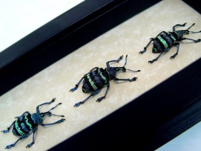 Eupholus magnificus set of 3 Real Framed Green Purple Banded Snout Weevil Beetle
