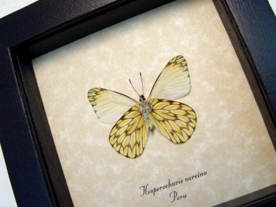 Hesperocharis nereina Verso Dartwhite Butterfly Scalloped Markings Real Framed Butterfly