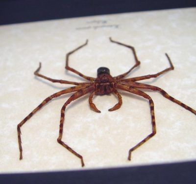 Heteropoda sp Rare Huntsman Spider Real Framed Insect