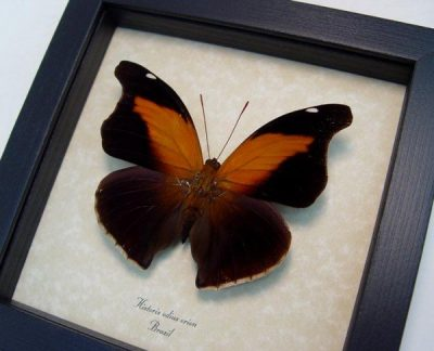 Historis odius orion Orion Cecropian Real Framed Large Butterfly