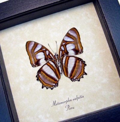 Metamorpha sulpitia Verso Rare Real Framed Frilled Peru Butterfly