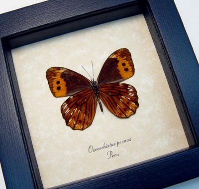 Oxeoschistus pronax Verso Rare Real Framed colorful Peru Butterfly