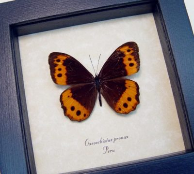 Oxeoschistus pronax Rare Real Framed colorful Peru Butterfly
