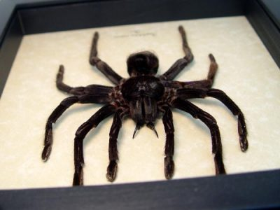 Pamphobeteus antinous Large Bolivian Blue leg Bird Eating Spider Giant Real Framed Tarantula