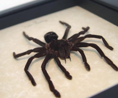 Pamphobeteus antinous med Bolivian Blueleg Bird Eating Spider Giant Real Framed Tarantula
