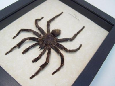 Pamphobeteus species Real Framed Peru Tarantula Spider