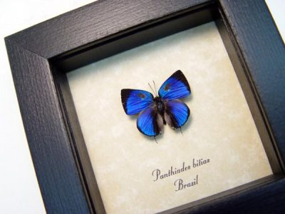 Panthiades bitias Bitias Hairstreak Metallic Blue Tailed Real Framed Brazil Butterfly