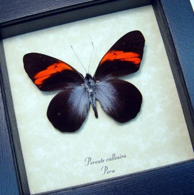 Pereute callinira Rare Real Framed Black Red Ghost Butterfly
