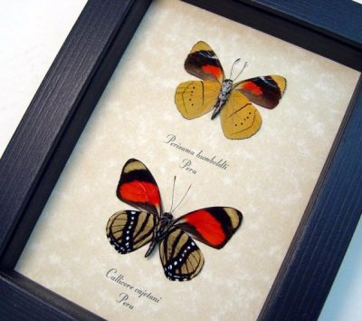 Callicore cajetani Perisama humboldtii Set Real Framed Colorful Butterflies